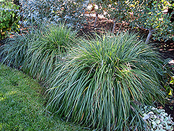 Moudry Fountain Grass (Pennisetum alopecuroides 'Moudry') at Cole's Florist & Garden Centre