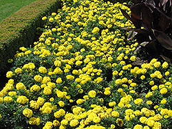 Inca Yellow Marigold (Tagetes erecta 'Inca Yellow') at Cole's Florist & Garden Centre