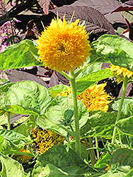 Teddy Bear Annual Sunflower (Helianthus annuus 'Teddy Bear') at Cole's Florist & Garden Centre