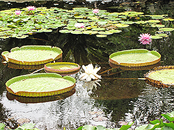 Giant Water Lily (Victoria amazonica) at Cole's Florist & Garden Centre