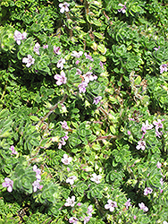 Pink Chintz Creeping Thyme (Thymus praecox 'Pink Chintz') at Cole's Florist & Garden Centre