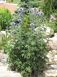 Veitch's Blue Globe Thistle (Echinops ritro 'Veitch's Blue') at Cole's Florist & Garden Centre