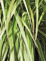 Morning Light Maiden Grass (Miscanthus sinensis 'Morning Light') at Cole's Florist & Garden Centre