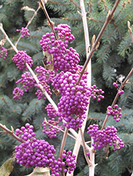 Profusion Beautyberry (Callicarpa bodinieri 'Profusion') at Cole's Florist & Garden Centre