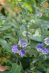 Beyond Midnight® Caryopteris (Caryopteris x clandonensis 'CT-9-12') at Cole's Florist & Garden Centre