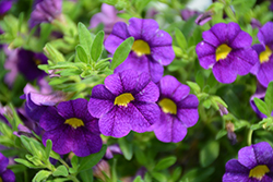 Superbells® Blue Calibrachoa (Calibrachoa 'Superbells Blue') at Cole's Florist & Garden Centre
