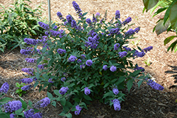 Lo And Behold® Blue Chip Dwarf Butterfly Bush (Buddleia 'Lo And Behold Blue Chip') at Cole's Florist & Garden Centre