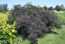 Black Lace® Elder (Sambucus nigra 'Eva') at Cole's Florist & Garden Centre