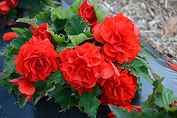 Nonstop® Red Begonia (Begonia 'Nonstop Red') at Cole's Florist & Garden Centre
