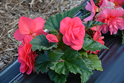 Nonstop® Pink Begonia (Begonia 'Nonstop Pink') at Cole's Florist & Garden Centre