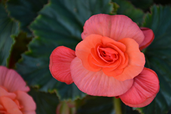 Solenia® Salmon Coral Begonia (Begonia 'Solenia Salmon Coral') at Cole's Florist & Garden Centre