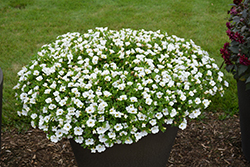 Superbells® White Calibrachoa (Calibrachoa 'Superbells White') at Cole's Florist & Garden Centre