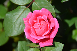 Pink Double Knock Out® Rose (Rosa 'Radtkopink') at Cole's Florist & Garden Centre