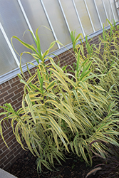 Golden Chain Giant Reed Grass (Arundo donax 'Golden Chain') at Cole's Florist & Garden Centre