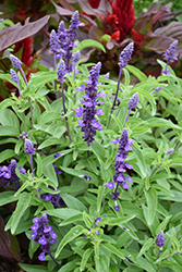 Evolution Deep Violet Salvia (Salvia farinacea 'Evolution Deep Violet') at Cole's Florist & Garden Centre