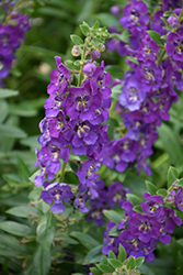 Angelface® Blue Angelonia (Angelonia angustifolia 'Angelface Blue') at Cole's Florist & Garden Centre