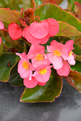 Big® Rose Bronze Leaf Begonia (Begonia 'Big Rose Bronze Leaf') at Cole's Florist & Garden Centre