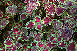 Lava Rose Coleus (Solenostemon scutellarioides 'Lava Rose') at Cole's Florist & Garden Centre