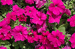 Pretty Grand Purple Petunia (Petunia 'Pretty Grand Purple') at Cole's Florist & Garden Centre