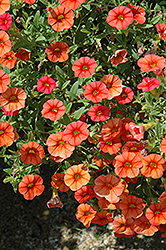 Superbells® Dreamsicle Calibrachoa (Calibrachoa 'Superbells Dreamsicle') at Cole's Florist & Garden Centre