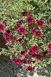 Superbells® Blackberry Punch Calibrachoa (Calibrachoa 'Superbells Blackberry Punch') at Cole's Florist & Garden Centre