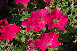 Candy Pink Ray Petunia (Petunia 'Candy Pink Ray') at Cole's Florist & Garden Centre