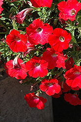 Red Ray Petunia (Petunia 'Red Ray') at Cole's Florist & Garden Centre