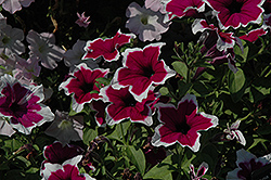 Rim Purple Ray Petunia (Petunia 'Rim Purple Ray') at Cole's Florist & Garden Centre