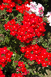 Lanai® Scarlet with Eye Verbena (Verbena 'Lanai Scarlet with Eye') at Cole's Florist & Garden Centre