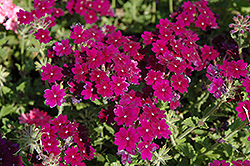Lanai® Deep Purple Verbena (Verbena 'Lanai Deep Purple') at Cole's Florist & Garden Centre