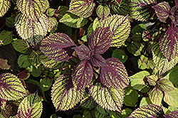 Fishnet Stockings Coleus (Solenostemon scutellarioides 'Fishnet Stockings') at Cole's Florist & Garden Centre
