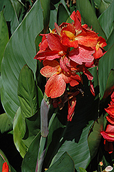 South Pacific™ Scarlet Canna (Canna 'South Pacific Scarlet') at Cole's Florist & Garden Centre