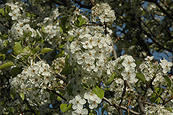 Cleveland Select Ornamental Pear (Pyrus calleryana 'Cleveland Select') at Cole's Florist & Garden Centre