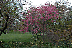 Tennessee Pink Redbud (Cercis canadensis 'Tennessee Pink') at Cole's Florist & Garden Centre