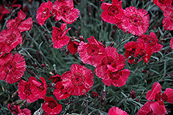 Eastern Star Pinks (Dianthus 'Red Dwarf') at Cole's Florist & Garden Centre
