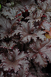 Black Taffeta Coral Bells (Heuchera 'Black Taffeta') at Cole's Florist & Garden Centre