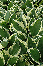 Independence Hosta (Hosta 'Independence') at Cole's Florist & Garden Centre