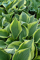 Twilight Hosta (Hosta 'Twilight') at Cole's Florist & Garden Centre