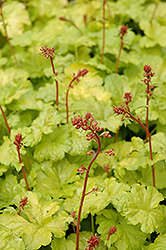 Sweet Tart Coral Bells (Heuchera 'Sweet Tart') at Cole's Florist & Garden Centre