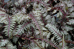 Regal Red Painted Fern (Athyrium nipponicum 'Regal Red') at Cole's Florist & Garden Centre