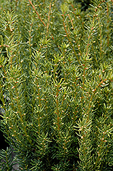 Fairview Yew (Taxus x media 'Fairview') at Cole's Florist & Garden Centre