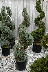 Wichita Blue Juniper (spiral) (Juniperus scopulorum 'Wichita Blue (spiral)') at Cole's Florist & Garden Centre