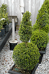 Green Mountain Boxwood (poodle form) (Buxus 'Green Mountain (poodle)') at Cole's Florist & Garden Centre