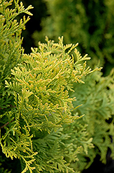 Amber Gold Arborvitae (Thuja occidentalis 'Amber Gold') at Cole's Florist & Garden Centre
