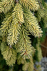 Gold Drift Norway Spruce (Picea abies 'Gold Drift') at Cole's Florist & Garden Centre