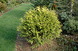 Golden Globe Arborvitae (Thuja occidentalis 'Golden Globe') at Cole's Florist & Garden Centre