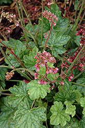 Berry Timeless Coral Bells (Heuchera 'Berry Timeless') at Cole's Florist & Garden Centre