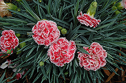 Coral Reef Pinks (Dianthus 'WP07OLDRICE') at Cole's Florist & Garden Centre