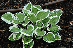 Diamonds Are Forever Hosta (Hosta 'Diamonds Are Forever') at Cole's Florist & Garden Centre
