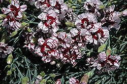 Coconut Punch Pinks (Dianthus 'Coconut Punch') at Cole's Florist & Garden Centre